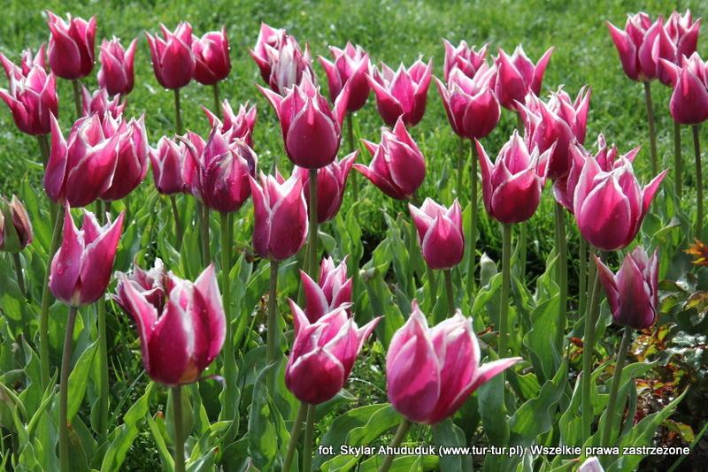 Tulipany w Muzeum Mevlany w Konyi