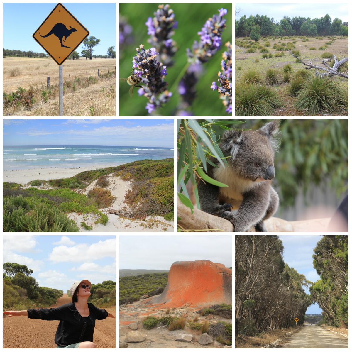 Drugi, najpiękniejszy etap podróży: Wyspa Kangurów [Kangaroo Island] bardzo słabo zaludniona, z eukaliptusowymi lasami, plażami jak z bajki, kangurami i koalami. Żałuję, że byłam tam tak krótko...